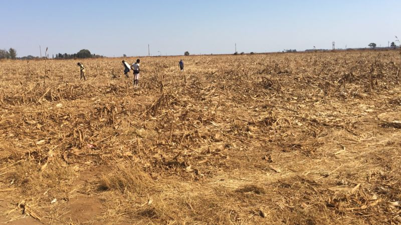 Zimbabwe Farmers Get High-nutrient Seeds to Aid Recovery from Drought
