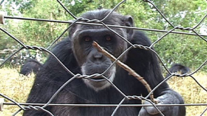 Turns Out Chimps Are Lovers not Fighters