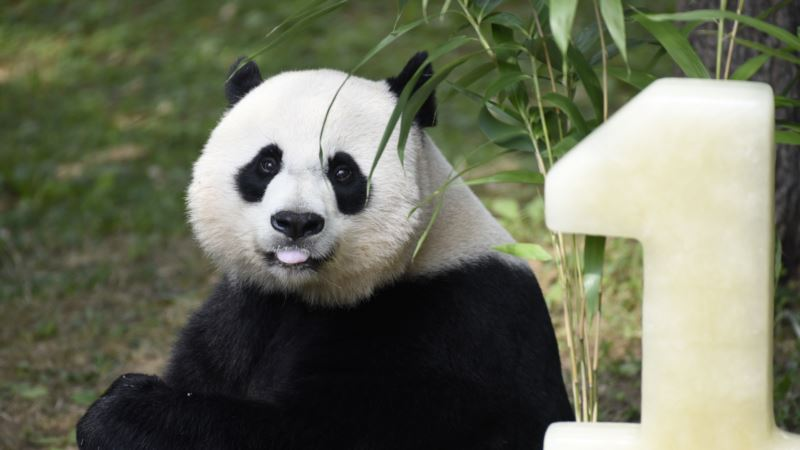 Panda Cub's Older Sister Celebrates Birthday at National Zoo